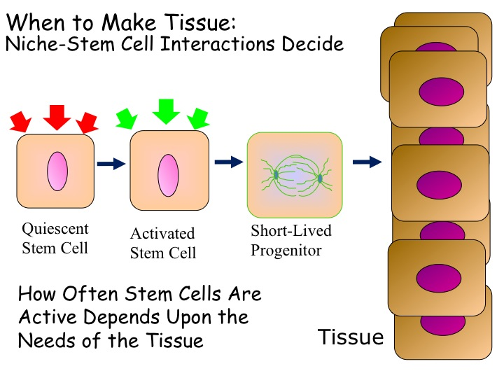 The Rockefeller University » Stem Cells of the Skin and