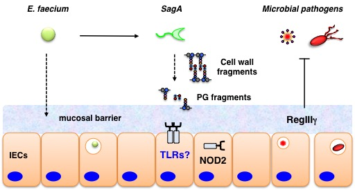 . Model for E. faecium and SagA-protection against enteric pathogens in vivo.