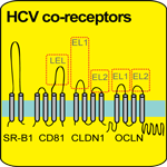 Membrane topologies of known HCV co-receptors: SR-BI, CD81, CLDN1 and OCLN.